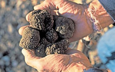 Nosing out a fortune in UK truffles