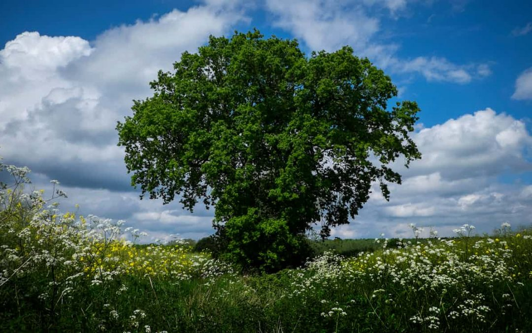 There is no oak left': are Britain's trees disappearing?